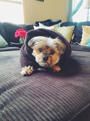 My sweet little puppy-cannoli.