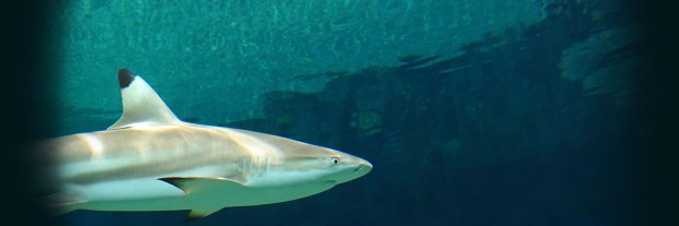 animals-BlacktipReefShark-header-web